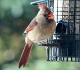 Cardinal16