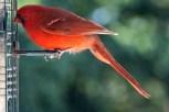 Cardinal8