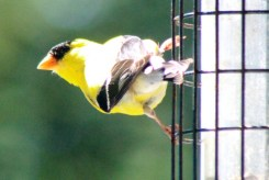 Goldfinch10