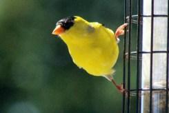 Goldfinch9