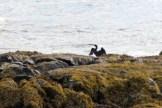 Cormorants3