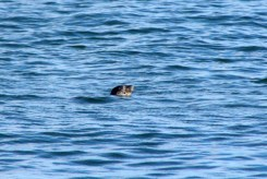 Seal18