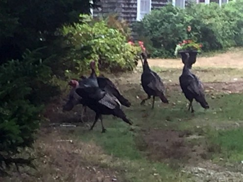 Turkeys6