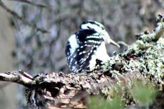 Woodpecker11