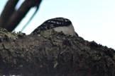 Woodpecker13