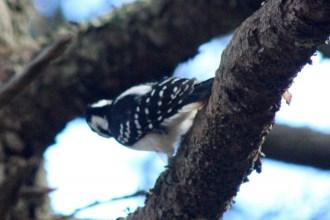 Woodpecker16