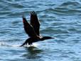 Cormorant10