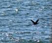 Cormorant12