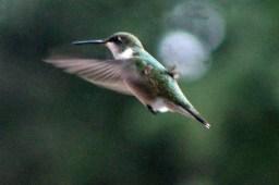 IMG_8331Hummingbird