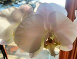 IMG_0042Orchid