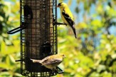 IMG_4470Finches