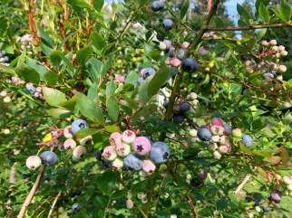 IMG_2076Blueberries