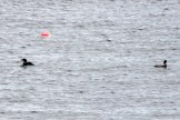 IMG_3474Loons
