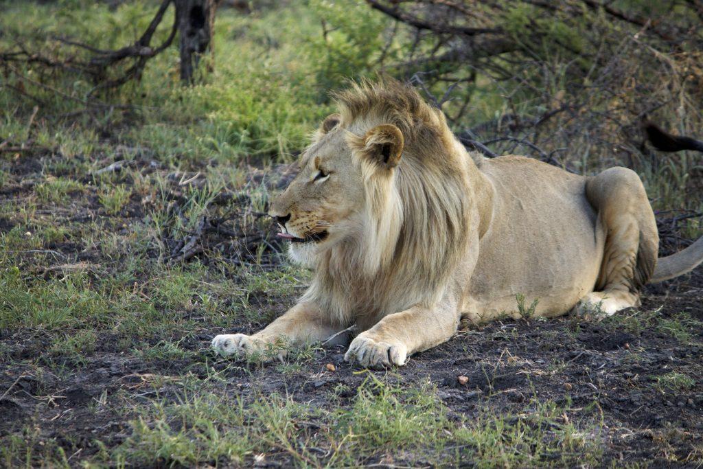 Impodimo safari madikwe lion