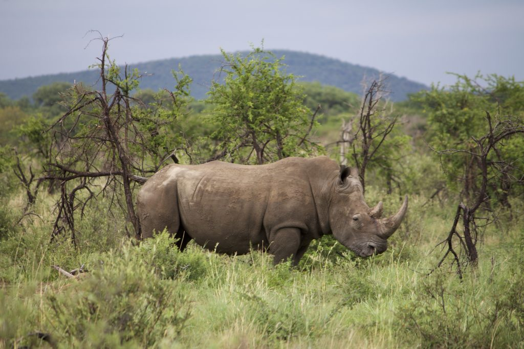 safari impodimo madikwe rhino