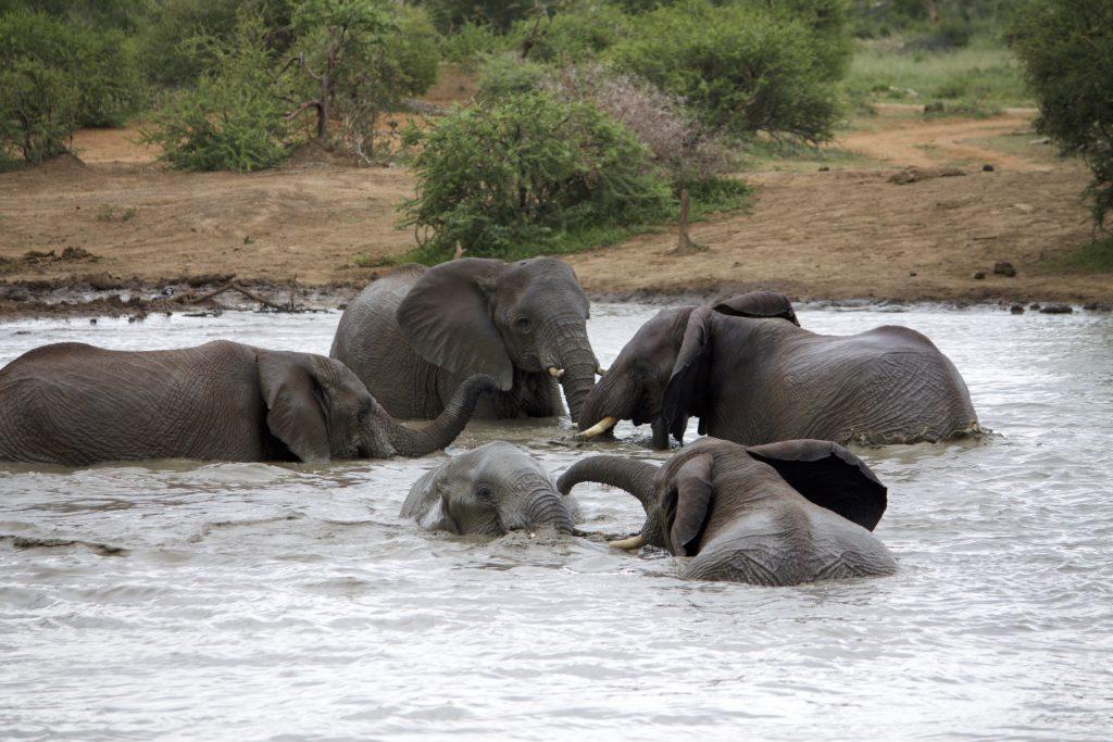 elephants safari impodimo madikwe