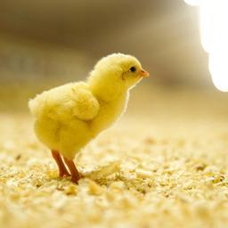 Massaal doden van hanenkuikens is vanaf volgend jaar verboden in Duitsland