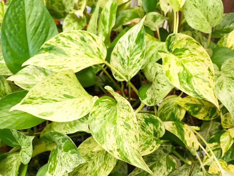 Plants that help you sleep - Golden Pothos