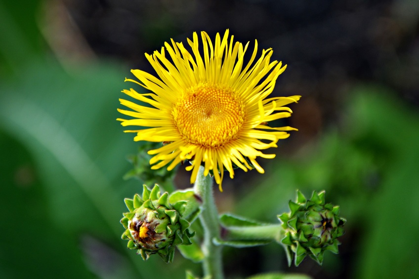 Plants that help you sleep - Elecampane