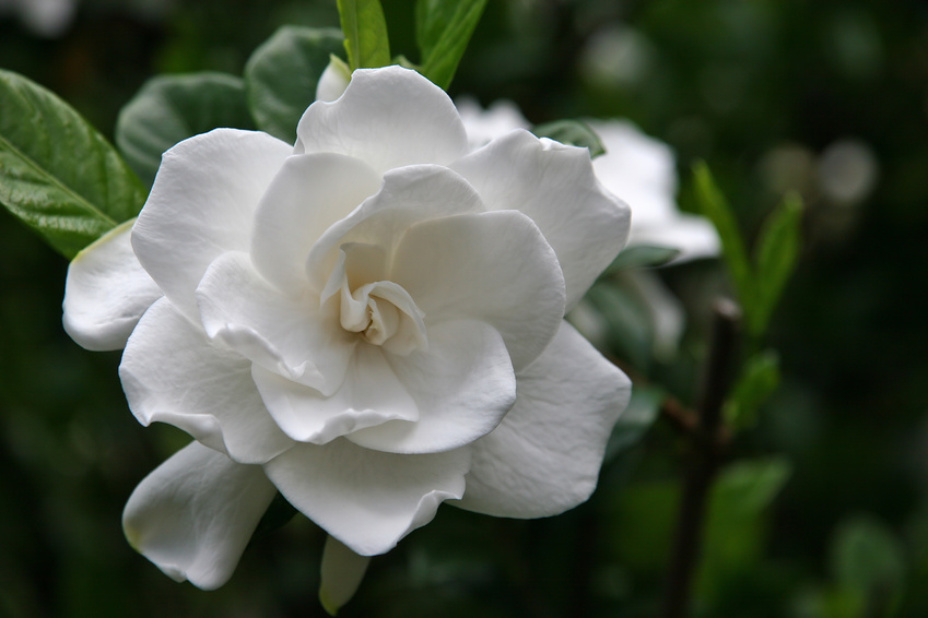 Plants that help you sleep - Gardenia
