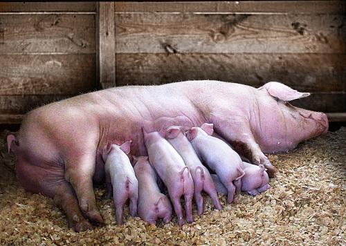 pig piglets