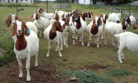 Starting Goat Farming Business in Zimbabwe and the Business Plan