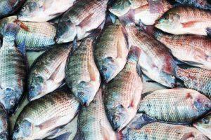 Tilapia Fish Farming Business Plan