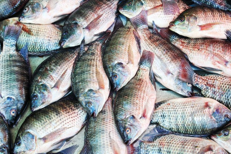 Starting Tilapia Fish Farming Business in Zimbabwe and the