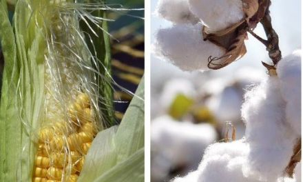 Cabinet approves new cotton, maize producer prices