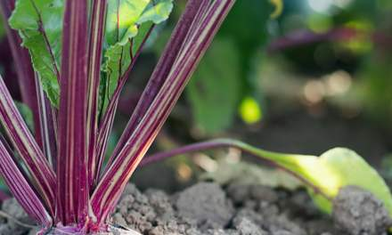 Beetroot Farming in Zimbabwe