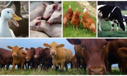 Livestock Farming Business Ideas For Zimbabwe