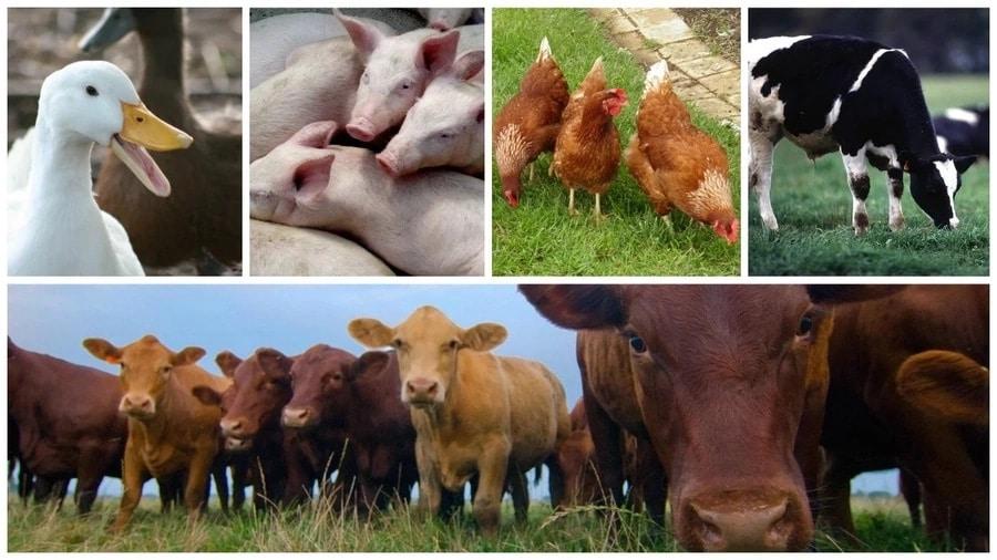 Livestock Farming Business Ideas For Zimbabwe