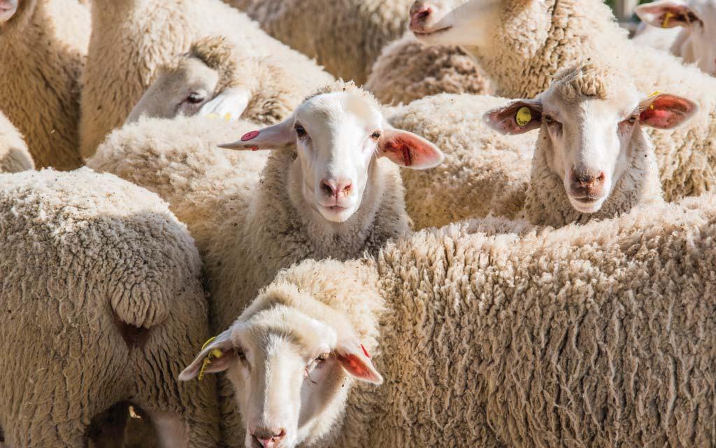Starting A Sheep Farming Business In Zimbabwe