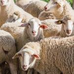 Starting A Sheep Farming Business In Zimbabwe