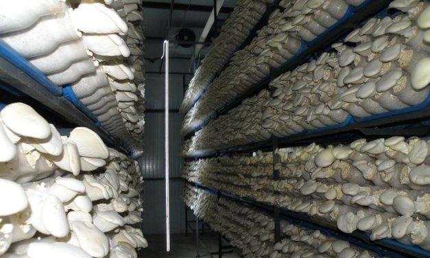 Hydroponic mushroom farming in Zimbabwe
