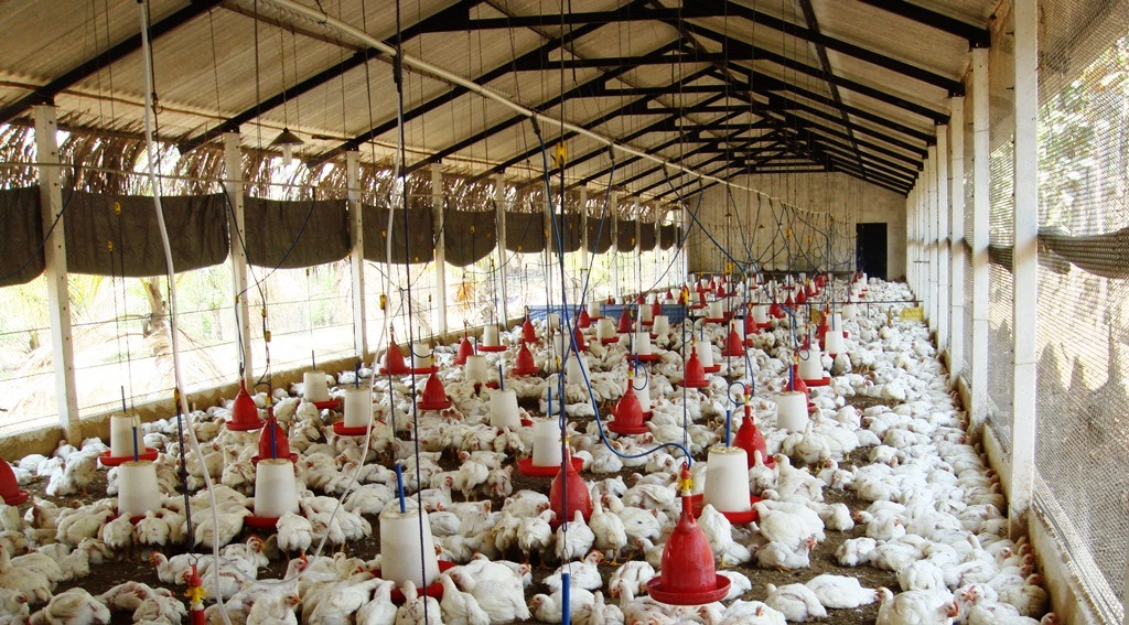 Broiler House And Broiler Chickens