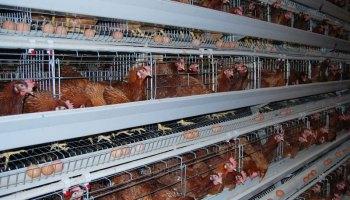 Starting Broiler Poultry Farming Business Plan (PDF) - StartupBiz Global