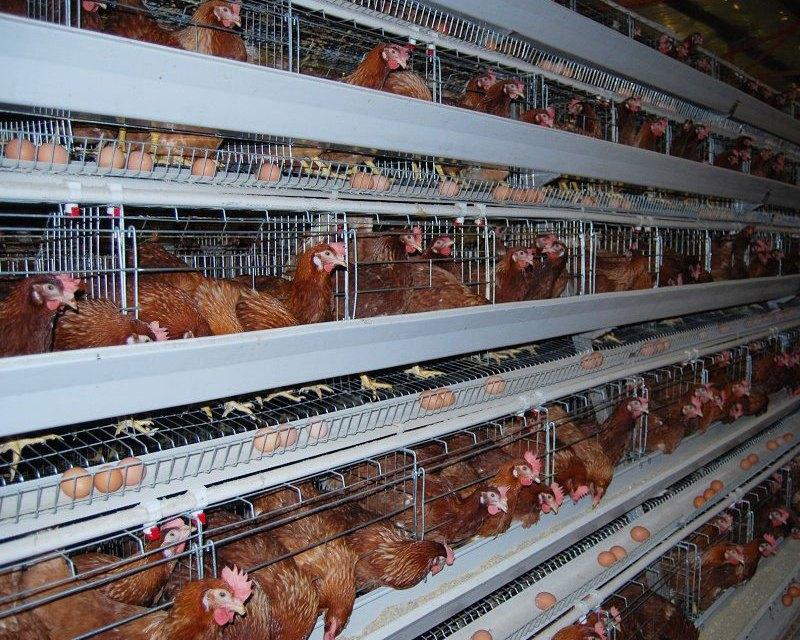 Starting Poultry Egg Farming Business Plan (PDF
