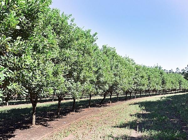 Macadamia Nuts Business Plan