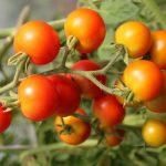 Starting Tomato Farming Business Plan (PDF)
