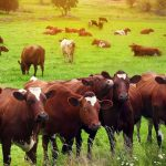 Starting Beef Cattle Farming Business Plan (PDF)