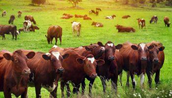 Starting Cattle Fattening Farming Business Plan (PDF) - StartupBiz