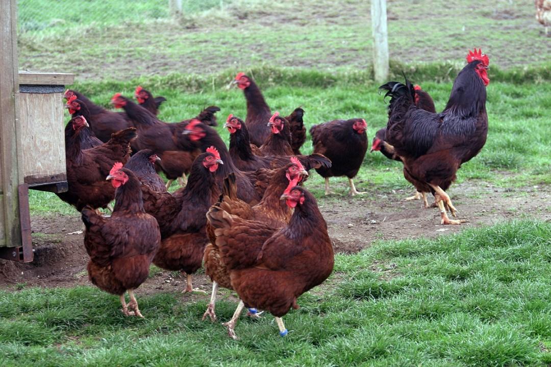 free range chickens rhode island red