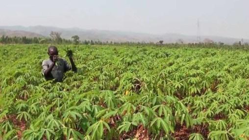 How To Start A Cassava Farm In Nigeria: A Comprehensive Business Plan