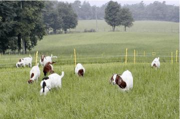 Goats In Pasture - Goat Farming In Nigeria