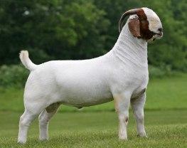 Boer Goats - Goat Farming In Nigeria