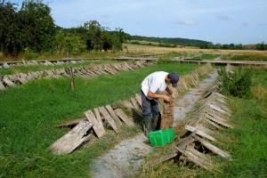 Harvesting Snails
