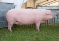 Landrace Pig