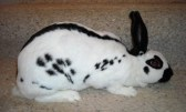 English spot rabbit breed