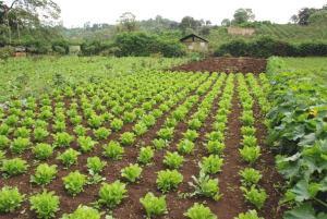 Vegetable Farmland
